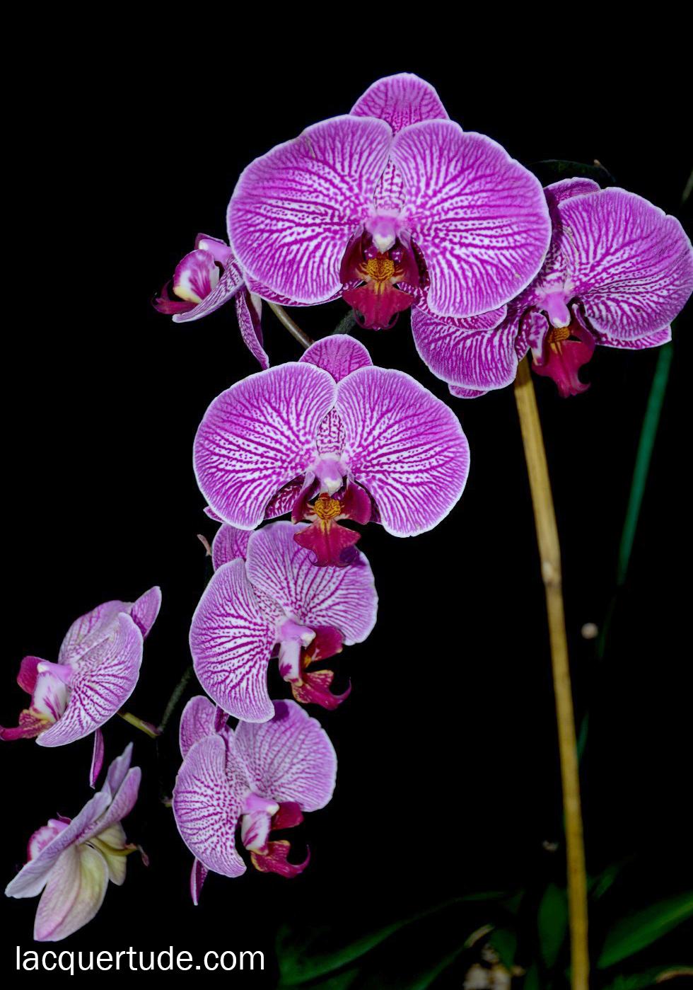 Lacquertude-Phalaenopsis-Radiant-Orchid1